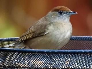 Blackcap (Sylvia atricapilla) female