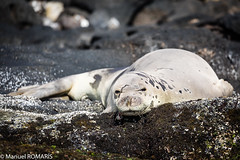 Seal, Poipu, Kauai, Hawaii, US (Manuel ROMARIS) Tags: poipu hawaii usa kauai koloa unitedstates us