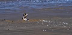 Falcon on Weston Beach (toasterjones) Tags: falcon peregrine birdofprey raptor somerset beach sand tide sea ocean holiday uphill westonbay westonsupermare