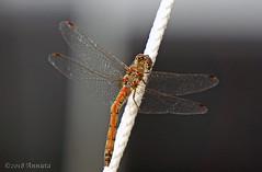 Heidelibel? (♥ Annieta ) Tags: annieta september 2018 sony a6000 nederland netherlands eerbeek veluwe gelderland midweek natuur nature insect insekt libel dragonfly heidelibel allrightsreserved usingthispicturewithoutpermissionisillegal