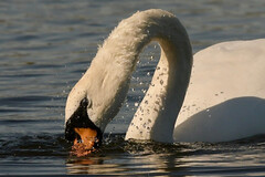 Mute swan (Ratsiola) Tags: birds nature wildlife water white dive splash beauty environment natural world
