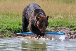 Ussuri brown bear (KAI)
