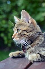 What's up? (Luonto Design) Tags: katze cat fotografie nikon d5200 50mm klein süs sweet miau roar