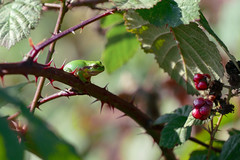Boomkikker op de uitkijk (aj.lindeboom) Tags: boomkikker