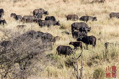 Cape Buffalo Herd (DragonSpeed) Tags: 28thkitsilanoscoutgroup 28thvancouverscoutgroup africa africanbuffalo africanwildcatsexpeditions capebuffalo safari scouts scoutscanada serengetinationalpark seroneraregion synceruscaffer tanzania tanzaniaexpedition2018 venturerscouts venturers mammal mara tz