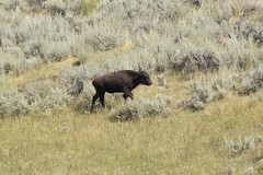 _DSC0537 (alnbbates) Tags: bison reddogs bisoncalf yellowstonetrip august2018 yellowstonepark