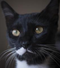 attentive #2 (marco monetti) Tags: cat gatto kitten micio young giovane beautiful bello lovely amabile sweet dolce portrait ritratto headshot scattoalviso eyes occhi