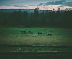 Koli (miemo) Tags: europe finland northkarelia animals clouds em5mkii fence field fog forest horses nature night olympus olympus1240mmf28 omd sky summer travel trees lieksa fi