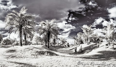 palmeras en infrarrojo - palms in infrared view  IR_680nm (Luis FrancoR) Tags: palmeraseninfrarrojopalmsininfraredviewir680nm infraredview infrared 680nm ngw ng ngc ngs ngg colombiainfrarred