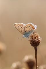 A little sunshine (Manon van der Burg) Tags: happydays gelukkigzijnzeernog 1strookjeover platgemaaid hetveldjeisonherkenbaar sigma105mm canon80d macrophoto macrofotografie onacloudyandwindyday eenstreepjezon vlindertje butterfly commonblue icarus