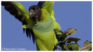 Nanday Parakeet (Nandayus nenday) NAPA - Arriverderci! (Best seen large)