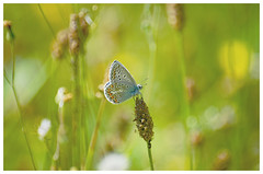 Good Night!Tiny common blue butterfly. (SHAN DUTTA) Tags: d70 butterfly