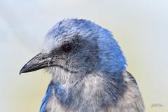 Scrub Jay (jt893x) Tags: 150600mm aphelocomacoerulescens bird d500 floridascrubjay jay jt893x nikon nikond500 portrait scrubjay sigma sigma150600mmf563dgoshsms songbird thesunshinegroup coth alittlebeauty coth5 sunrays5