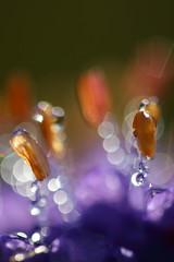 Devil's-bit scabious stamens (Mike Mckenzie8) Tags: anthers filament flower plant bokeh pink purple water drop wet canon mpe 65 sunrise droplet
