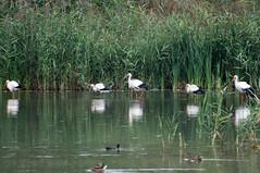 Ooievaar - White stork (Den Batter) Tags: nikon d7200 oss ooievaar whitestork stork ciconiaciconia
