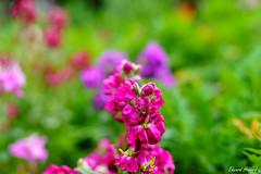 Bokehlicious flowers (edzwa) Tags: sydney newsouthwales australia au flowers flower bokeh bokehlicious closeup garden sigma50mm14art