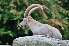 Alpensteinbock (Capra ibex) (Hugo von Schreck) Tags: hugovonschreck alpensteinbock capraibex animal tier canoneos5dsr fantasticnature tamronsp150600mmf563divcusda011