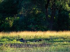 late afternoon light over the plains an evening bath. (odileva) Tags: paysage june kenia masaimaranp nature transmara riftvalleyprovince kenya ke
