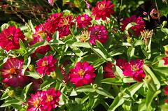 JLF19852 (jlfaurie) Tags: jardin hôteldeville evéché bourges jlfr mechas mpmdf lucila 21082018 flores garden flowers