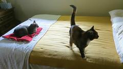 Millie and Gracie 23 July 2018 0328Ri 9x16 (edgarandron - Busy!) Tags: cat cats kitty kitties tabby tabbies cute feline