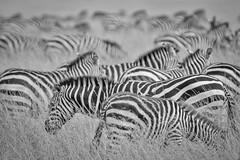 Zebra Patterns - Kenya (petechar) Tags: charlesrpeterson petechar maasaimara kenya animal wildlife mammalia perissodactyla equidae equusquagga savannah grasslands grass
