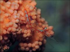 Translucent Gorgonian Shrimp (Manipontonia psamathe) (Brian Mayes) Tags: 2006 southbank muara brunei shrimp commensalshrimp translucentgorgonianshrimp manipontoniapsamathe underwater scuba diving canon g16 canong16 brianmayes