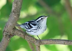 black-and-white warbler at Vernon Springs IA 653A6238 (lreis_naturalist) Tags: blackandwhite warbler vernon springs howard county iowa larry reis