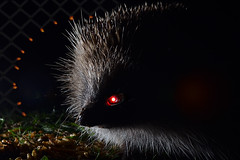 Series T-800 Tiggywinkle (Apionid) Tags: hedgehog cyborg terminator hereios nikond7000 werehere wildlife monster