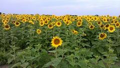 Field of sunflowers (pegase1972) Tags: sunflower flower flora fleur quebec qc québec canada montérégie monteregie cellphonepicture licensed dreamstime shutter shutterstock eyeem