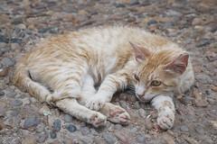 2018/07/11 12h19 chat du jardin andalou, Kasbah des Oudayas (Rabat) (Valéry Hugotte) Tags: 24105 jardinandalou kasbah kasbahdesoudayas maroc oudayas rabat canon canon5d canon5dmarkiv cat chat chats gatos katze sieste rabatsalékénitra ma
