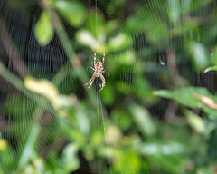 Spiders Web - DSC_0423 (John Hickey - fotosbyjohnh) Tags: 2018 september2018 spider nature spidersweb shrub outdoor macro insect
