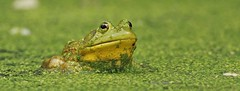 emphasis on green (don.white55 That's wild...) Tags: donpwhite photography americanbullfroglithobatescatesbeianus donwhite donpwhitephotography canoneos70d tamronsp150600mmf563divcusda011 tamron150600mm lens animal amphibian frog wildlife wildwoodlake wildwoodpark wildwoodnaturepreserve nature froghabitat eyes eye