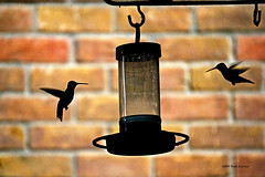 Hummers in hover (Frank G Cornish) Tags: hummingbirds birds feeder hover flickrfriday silhouette corpuschristitx migration