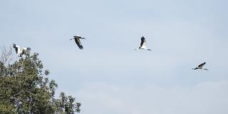Wood Stork (Mycteria americana) 1 071518