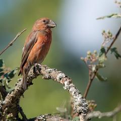 The Nordic Parrot (pakerholm) Tags: crossbill loxia loxiapytyopsittacus loxiacurvirostra redcrossbill parrotcrossbill korsnäbb störrekorsnäbb mindrekorsnäbb sigma150600 sigma150600f563dgsports sigma150600mmf563 sigmasport sigma 150600 600 nikon d600 d610 nikond600 nikond610 fullframe fullformat fågelskådning ornitologi ornithology birdwatching birds bird fågel fåglar linnut lintu wildlife animals vildadjur åland thealandislands finland suomi