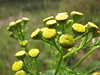 Rainfarn - Tanacetum vulgare - Tansy (elisabeth.mcghee) Tags: rainfarn tanacetum vulgare tansy pflanze plant