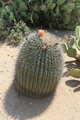 Cactus (CHRISTOPHE CHAMPAGNE) Tags: 2018 usa arizona az plante cactus