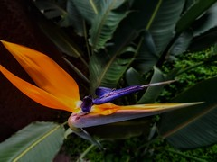 Solo aspiro a encontrar el paraíso en la tierra. (FOTOS PARA PASAR EL RATO) Tags: naturaleza naranja flowers flores avedelparaíso flor