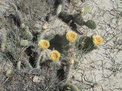 Prickly pear (Opuntia sp.) (tigerbeatlefreak) Tags: prickly pear opuntia cactus plant south dakota