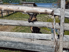 Let me out (Jean S..) Tags: outdoors rural farm animal fence goat