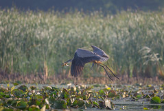 First light first bite (Islander_16) Tags: heron great blue fish catfish nature wild wildlife greatblueheron