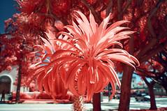 Desert Plant (Infrakrasnyy) Tags: sony nex 5n infrared ir kolari kolarivision 550nm beverly hills 90210 palm trees cactus urban landscape
