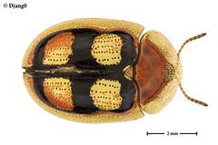 Aspidimorpha rainori (D j a n g O) Tags: focusstacking macro extrememacro insect insecte beetle coleoptera cassidinae chrysomelidae aspidimorpha rainori benin studio led componon componon50mm