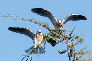DSC_3124.jpg White-tailed Kites, Natural Bridges