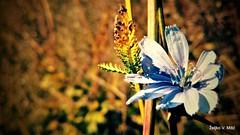 IMG_20180916_103916 (Željko V. Mitić) Tags: september outdoors nature naturephotography village countryside sunny sunnyday morning flower flowers