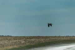 Pascal Bonnet-Destination inconnue (shynyphotographe) Tags: héron oiseaux ciel sky paysage landscape exterieur