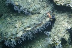 Coral-lined Ledges (NOAA Ocean Explorer) Tags: noaa coral lophelia discovery ocean exploration science woodsholeoceanographicinstitution alvin dive ledge crab
