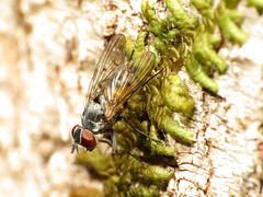 Little Forest Muscid (treegrow) Tags: newzealand nature lifeonearth raynoxdcr250 arthropoda moana lakebrunner diptera insect fly muscidae