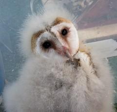 Two new recruits (billnbenj) Tags: barrow cumbria owl birdofprey barnowl raptor