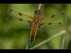 Four Spotted Chaser (Paul West ( pwest.me )) Tags: fourspottedchaser dragonfly chaser nature countryside riverside brockholes naturelovers wildlife wildlifepics macro wildlifepictures wildlifephotographer wildlifephotography naturephotography naturepictures naturephotographer birdphotography wildlifephoto animal naturephotoportal poultonphotosoc photography wildlifeplanet intothewild wildlifeperfection naturephoto naturepics naturepic followme naturecollection natureseekers